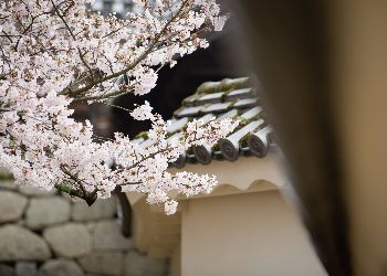 Sakura by the castle